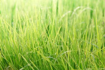 Nature grass field rice background