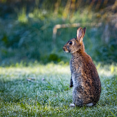 2 Wild common rabbit (Oryctolagus cuniculus) sitting on hind in a meadow on a frosty morning surrounded by grass and dew