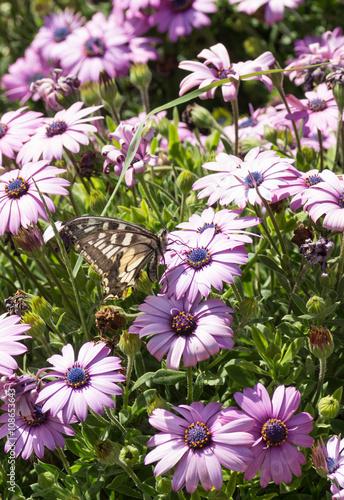 Papillon sur fleur violette photo libre de droits sur la banque d 39 images image - Image fleur violette gratuite ...