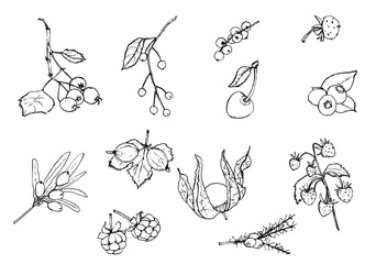 Set of wild berries, botanical illustration, ink drawing