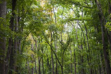 Mahagoni Wald, Meliaceae / Mahagoni Wald auf der Insel Bohol, Philippinen.