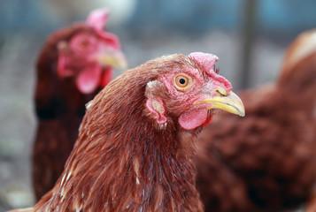 курица в курятнике