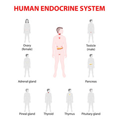 Human silhouette with endocrine glands. icons set