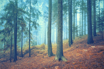 Wall Mural - Beautiful dreamy conifer forest. Color filter effect used.