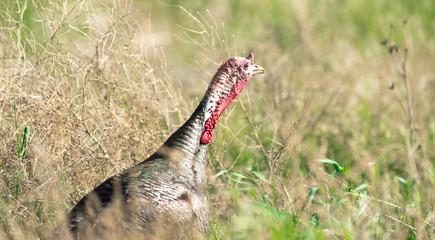 Male Turkey Running Tall Growth Big Wild Game Bird