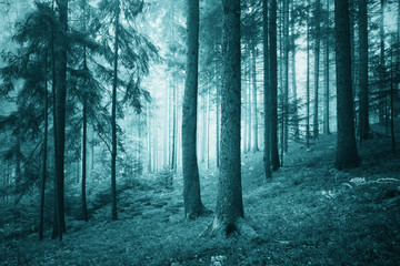 Wall Mural - Beautiful turquoise colored dreamy conifer forest. Color filter effect used.