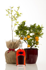 Sloe Gin Alongside Sloe Bush and Calamondin Tree in Pot