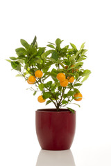 Potted Calamondin Plant