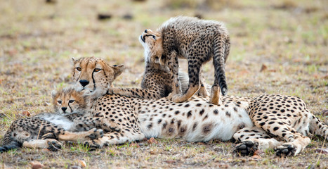 The female cheetah with cubs. The family of cheetah (Acinonyx jubatus)