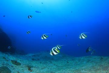 Bannerfish Moorish Idol fish Angelfish
