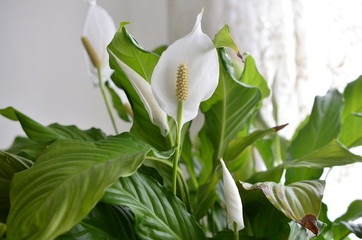 peace lily flower Wall mural