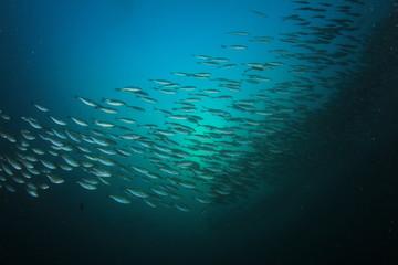 Underwater fish school ocean sea