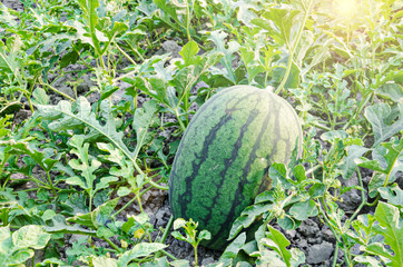 Watermelons on the green watermelon plantation.