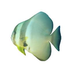 Spadefish batfish fish isolated on white background