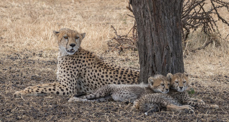 Cheetah and two cubs resting under a tree taken in Masai Mara Kenya