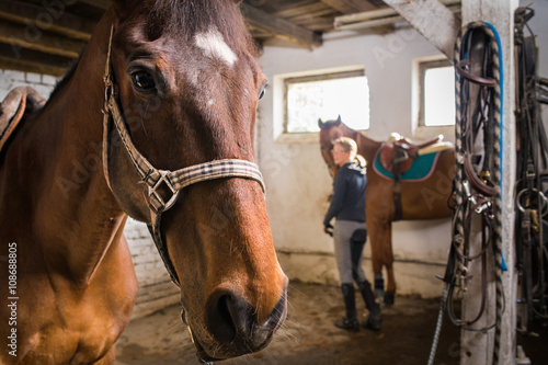 Brown horses in the stable