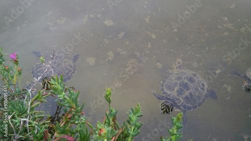 Laghetto con tartarughe acquatiche immagini e fotografie for Laghetto tartarughe prezzo