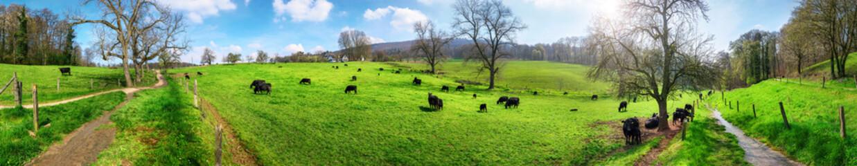 Fotoväggar - Panorama mit ländlicher Idylle, Kühe weiden in schöner Landsc