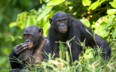Bonobos in natural habitat. Green natural background.  The Bonobo ( Pan paniscus), earlier being called  the pygmy chimpanzee.