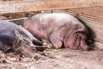 Thai Boar sleep