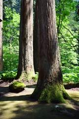 羽黒山の杉林 /山形県鶴岡市で、羽黒山参道の杉林を撮影した写真です。