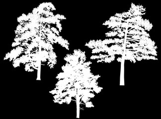 three large white pine silhouettes isolated on black
