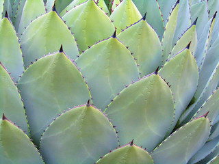 Succulent Plant as a background