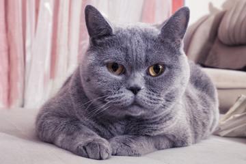 Beautiful Gray British cat