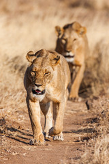Two lionesses approach, walking straight towards the camera