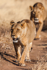 Two lionesses approach, walking straight towards the camera,