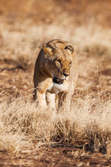 Lioness approach, walking straight towards the camera
