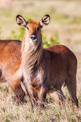 Waterbuck  African Wildlife Background Nature Portrait of Life. Close up