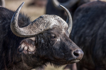 Profile african buffalo cow (Syncerus caffer) portrait, Africa