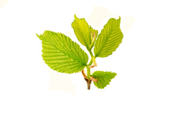 Spring young branch of Common hornbeam stem covered with opened leafs isolated on a white background.