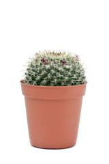 Mammillaria spinosissim cactus