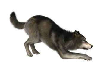 3D Illustration Wild Wolf on White