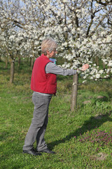 Farmer or agronomist examine blossoming plum orchard