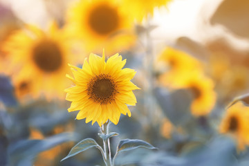 Flowers bright yellow sunflowers grow in a field in the bright sun