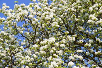 Wall Mural - Blühender Birnbaum im Frühling