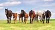 Horse herd run on spring pasture against blue sky