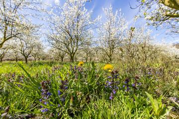 löwenzahn und kirschblüte