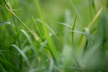 beautiful background of green grass in nature