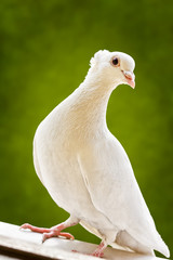 Cute white tufted fancy breed pigeon standing on a window sill.