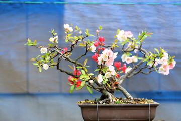 盆栽 Bonsai
