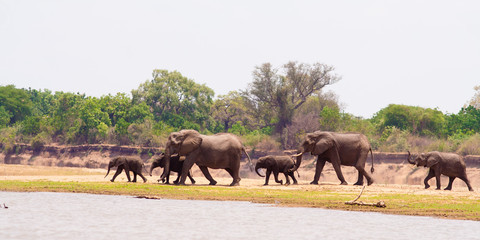 Wall Mural - Wild African elephants heading to the water