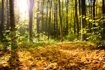 Wall Mural - Sunrise in autumn forest