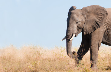 Fototapete - Wild African Elephant