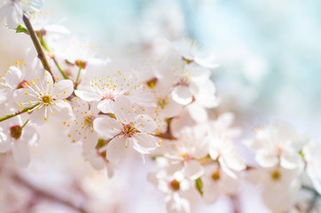white cherry tree flower in spring
