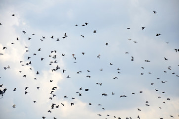 Pigeon bird flying