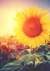 Wall Mural - Vintage photo of sunflower with sunlight - retro filter effect